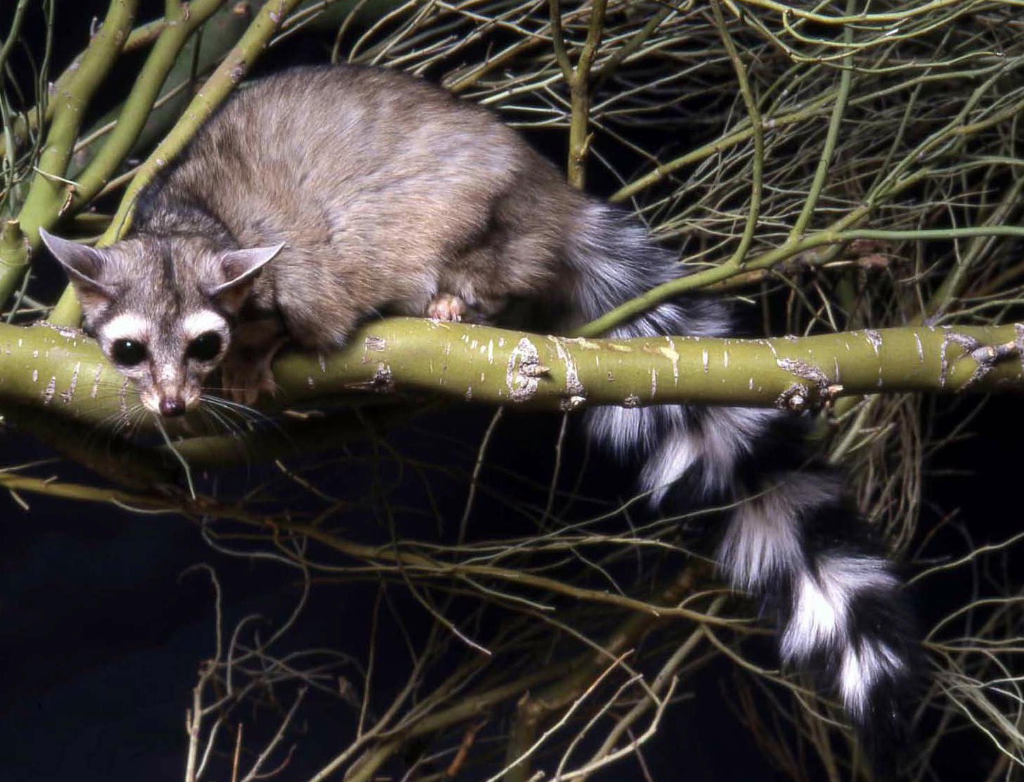 Photo of a ringtail