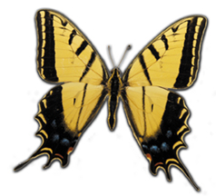 State Butterfly | Arizona State Library